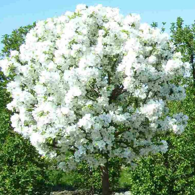 Яблоня сахарный аркад: описание особенностей, фото.