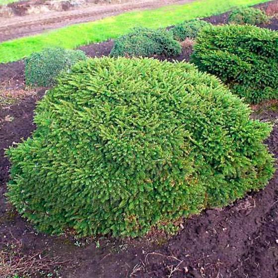 Picea-Pumila-Glauca.jpg