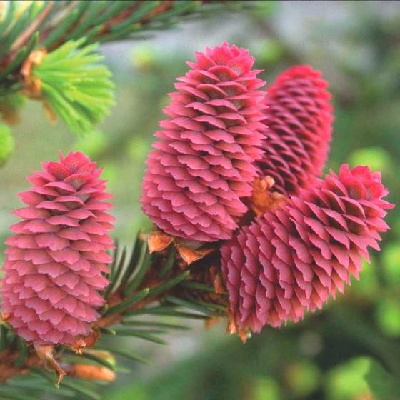Picea-acrocona.jpg