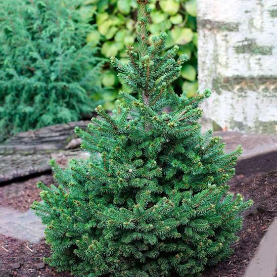 Picea-vils-cverg.jpg