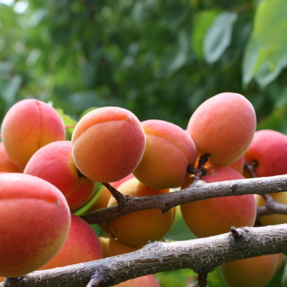 abrikos-krasnotshiokij.jpg