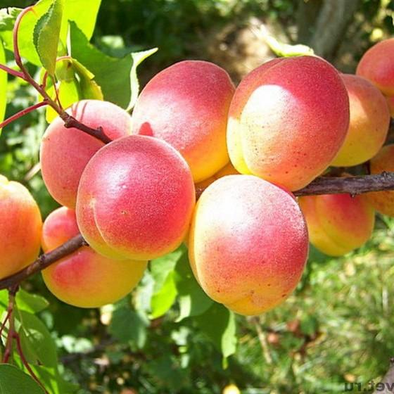 abrikos-lel.jpg