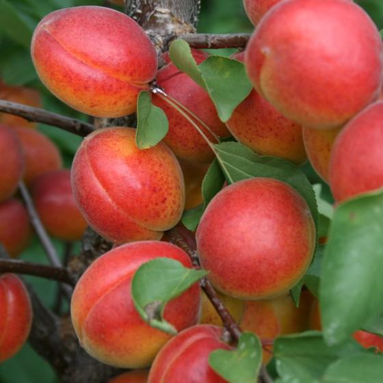abrikos-rossiianin.jpg