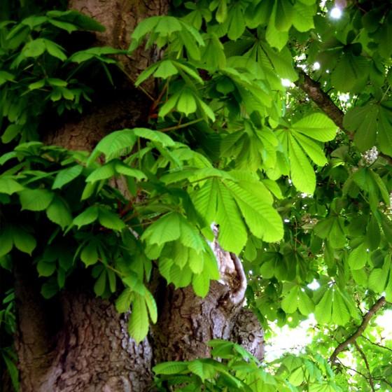 chestnut2.jpg