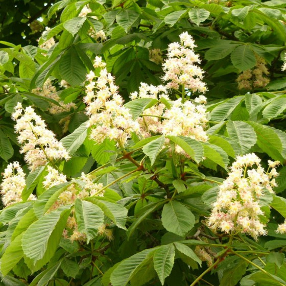 chestnut3.jpg