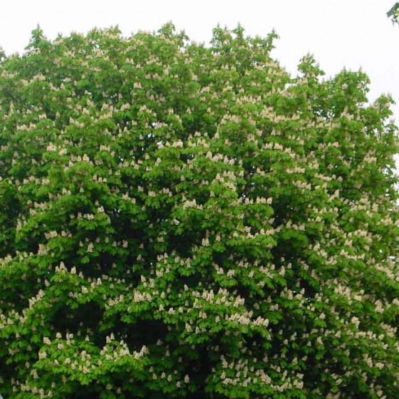 chestnut5.jpg