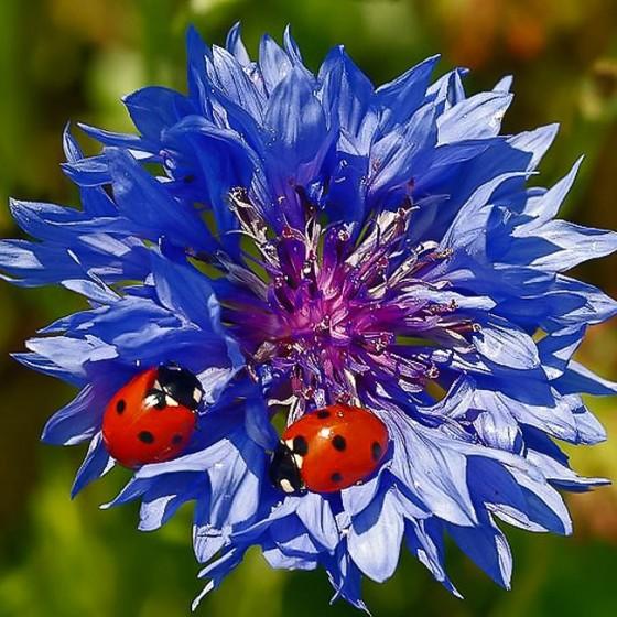 cornflower5.jpg