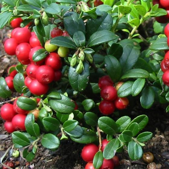 cranberries1.jpg
