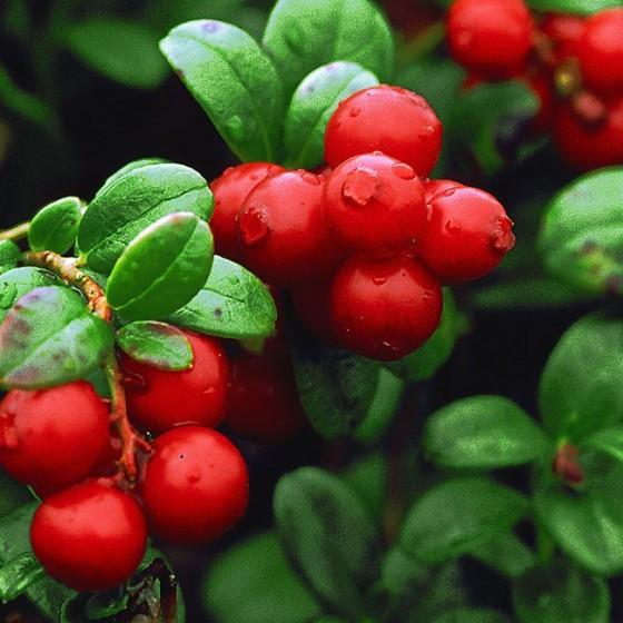 cranberries2.jpg
