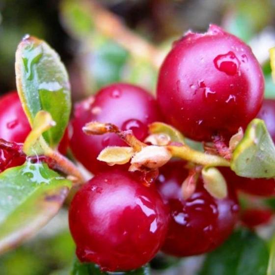 cranberries5.jpg