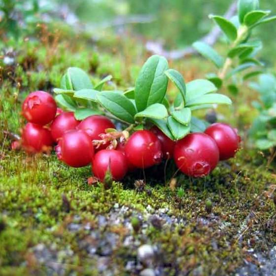 cranberries6.jpg