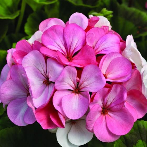 geranium3.jpg