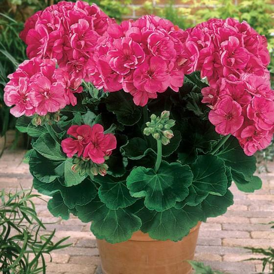 geranium4.jpg