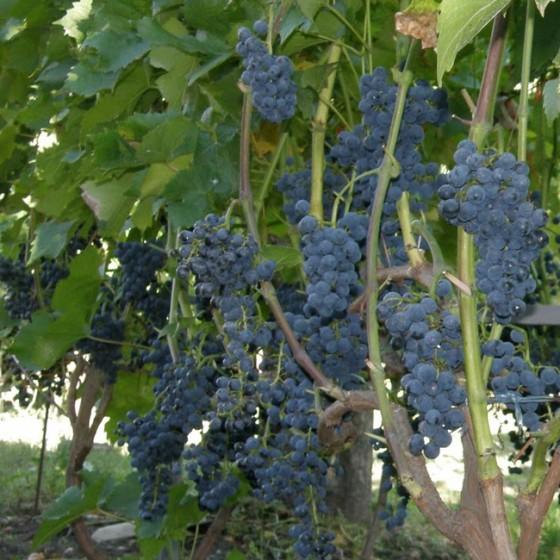 grape3.jpg