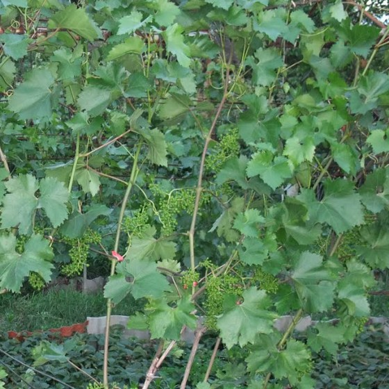 grape6.jpg