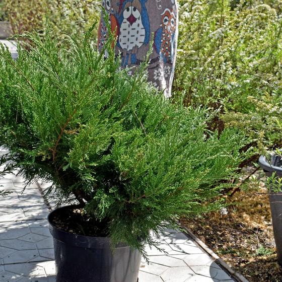juniperus-mint-julep_01.jpg
