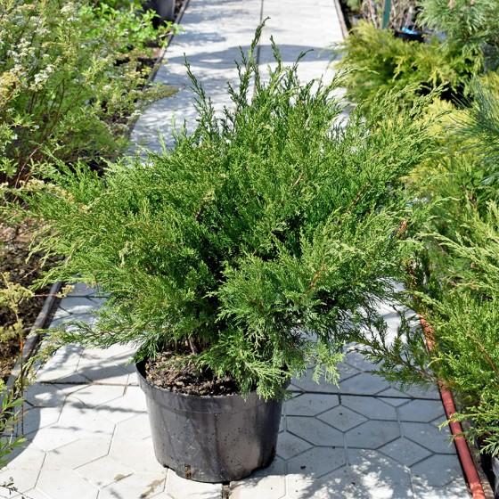 juniperus-mint-julep_02.jpg