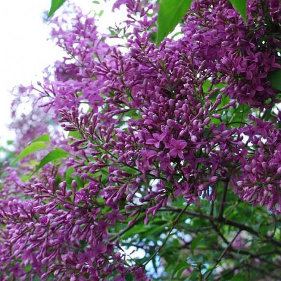 lilac4.jpg
