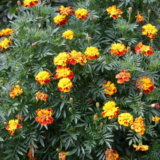 marigold2.jpg