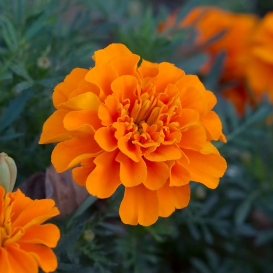 marigold4.jpg