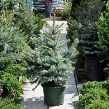 Ель голубая Фат Альберт (Picea pungens Fat Flbert)