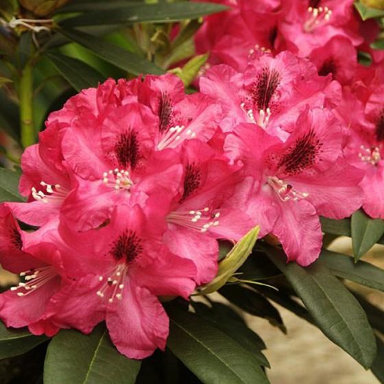 rhododendron10.jpg