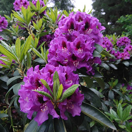 rhododendron11.jpg