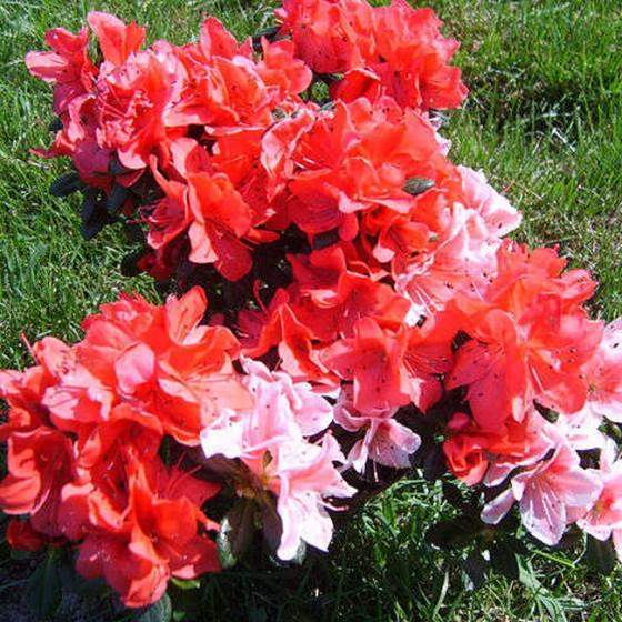 rhododendron1.jpg