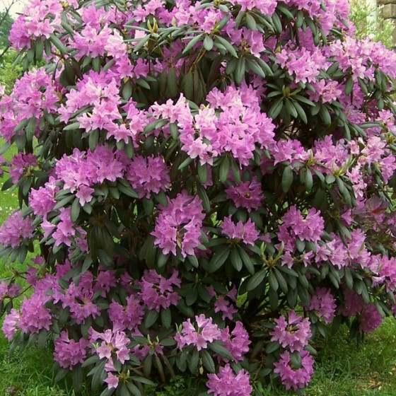 rhododendron3.jpg