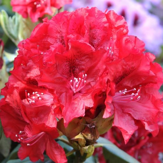 rhododendron4.jpg