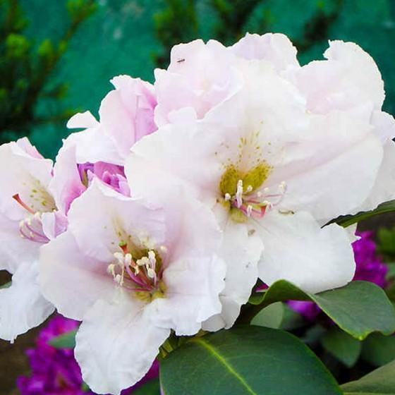 rhododendron5.jpg