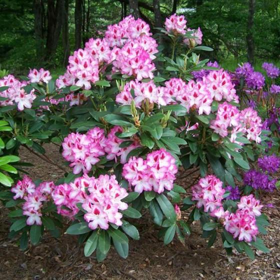 rhododendron6.jpg