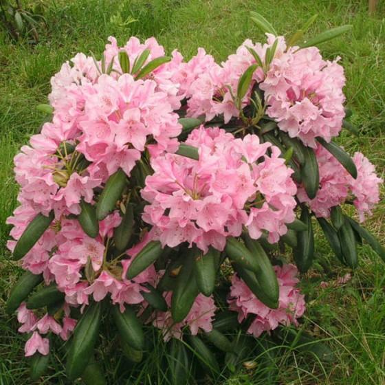 rhododendron7.jpg
