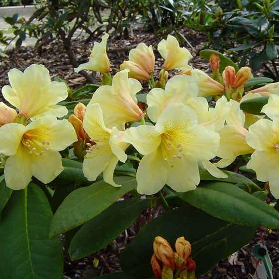rhododendron8.jpg