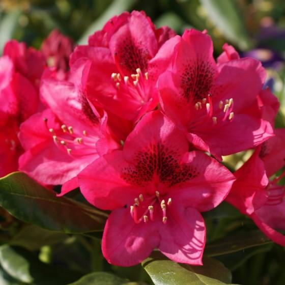 rhododendron9.jpg