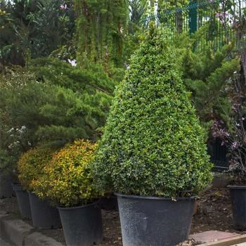Самшит - вечнозеленый кустарник