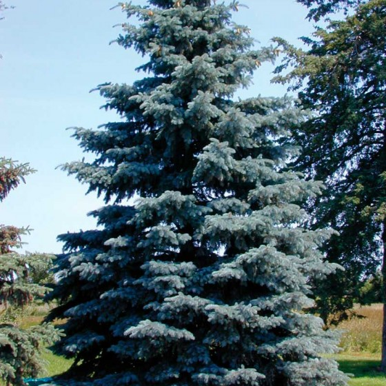 spruce-blue-mountain.jpg