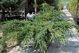 Можжевельник Блю Карпет (Juniperus Blue Carpet)