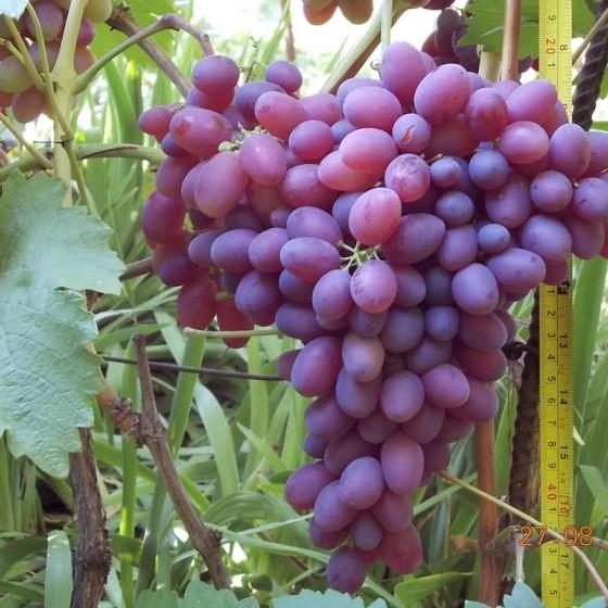 Виноград Алый-2