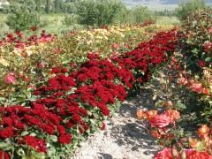 Роза чайно-гибридная