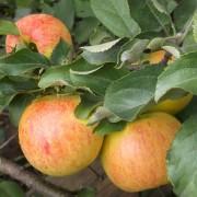 Саженцы Яблоня Коричное полосатое