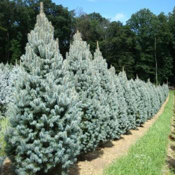 Ель голубая Изели Фастигиата (Picea pungens Iseli Fastigiate)
