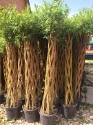 Ива плетеная (датские корни) 100 см