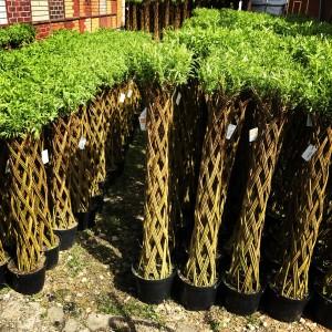 Ива плетеная (датские корни) 80 см