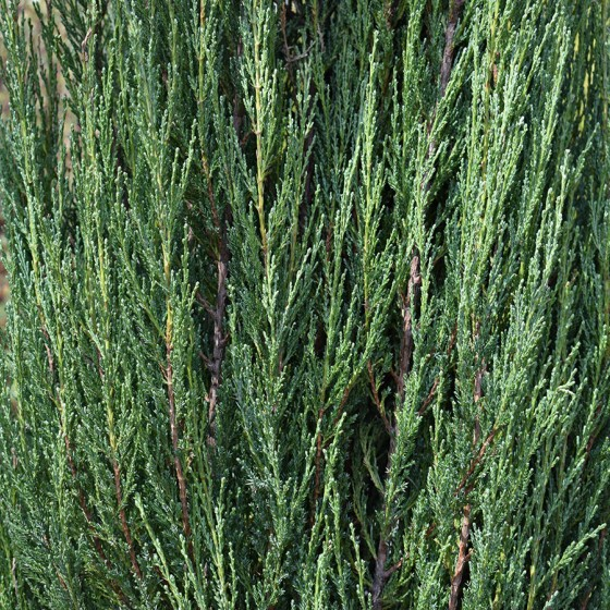 juniperus-blue-arrow_02.jpg