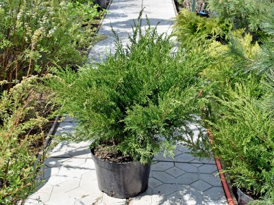 Можжевельник Минт Джулеп (Juniperus Mint Julep)