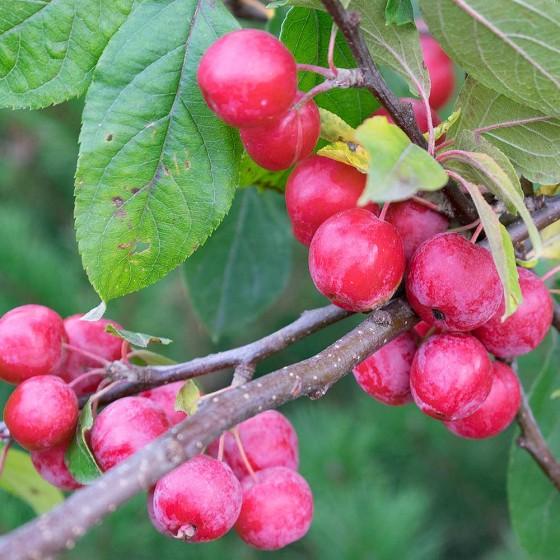 Яблоня Китайка
