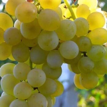 Виноград Кристалл