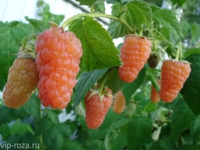 Саженцы малины Оранжевое чудо