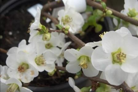 Хеномелес японский Нивалис